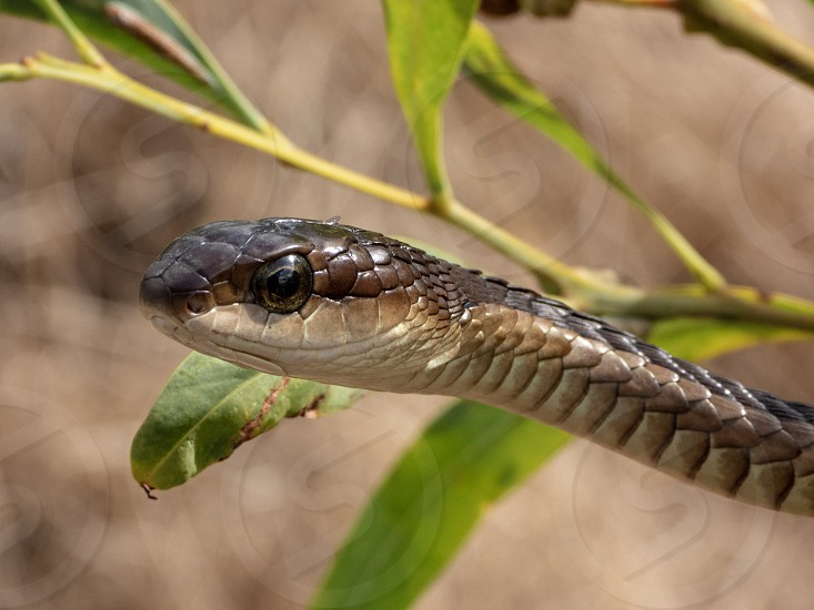 Boomslang (Dispholidus typus) on a branch - a dangerously venomous reptile (snake). photo
