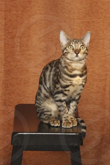 Bengal kitten on a bar stool (2) photo