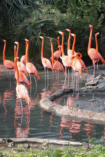 Flamingos in Bermuda photo