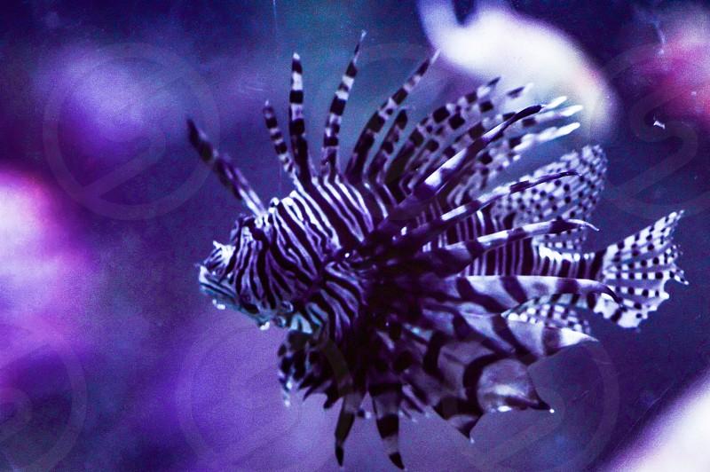 Lionfish lion fish fish sea cretures ocean creatures underwater water bottom feeders exotic exotic fish photo