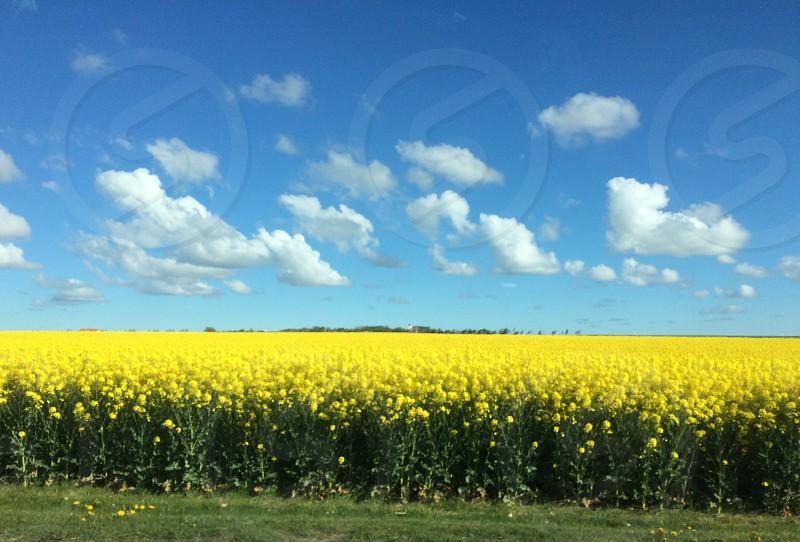 yellow flowers field photo