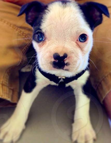 Brixton the Boston Terrier photo
