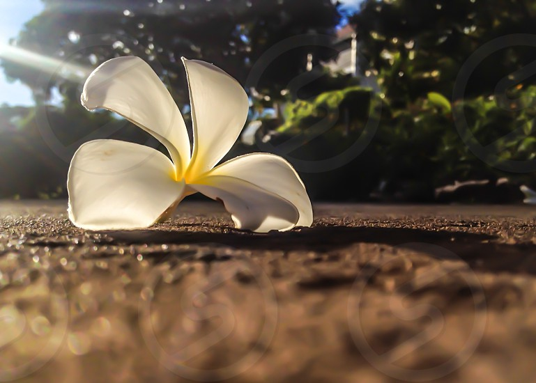 The curves of a plumeria flower at first light.  photo