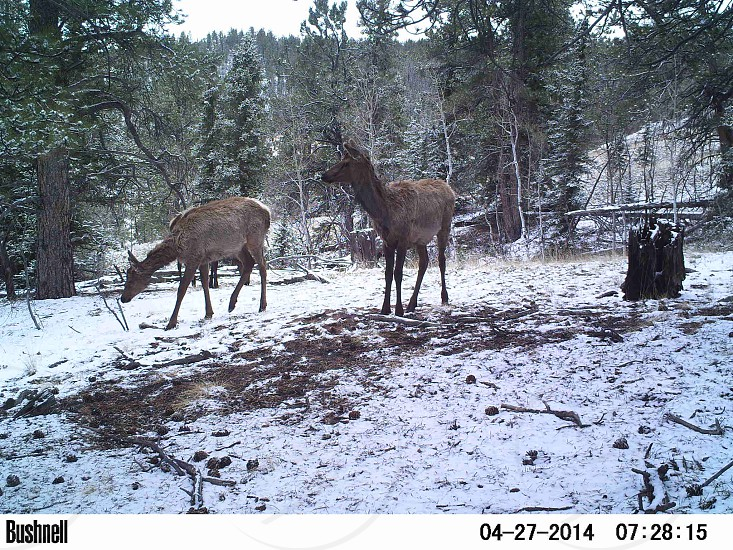 Cow elk moving through Pikes Peak National Forest photo