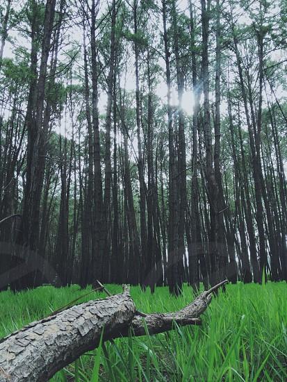 white barked tree photo