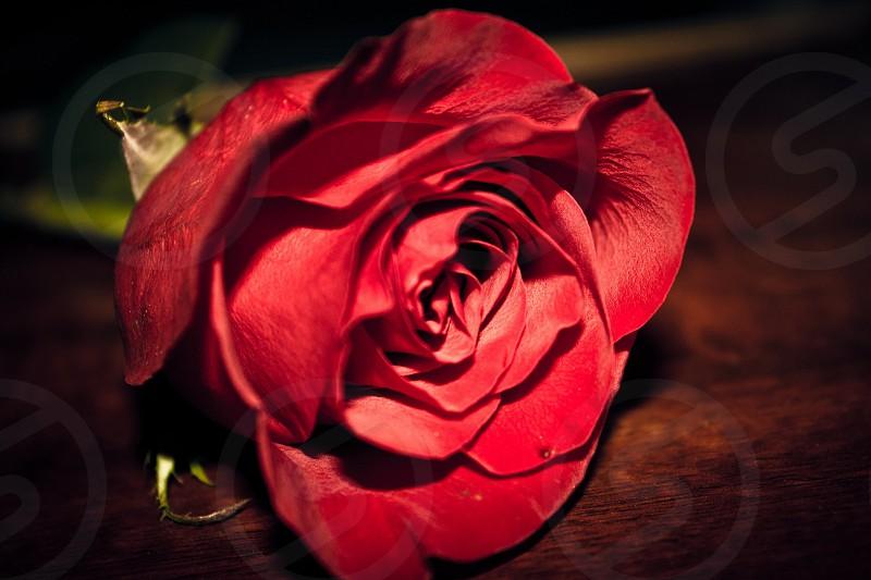 Rose flower closeup dof red pretty petals photo