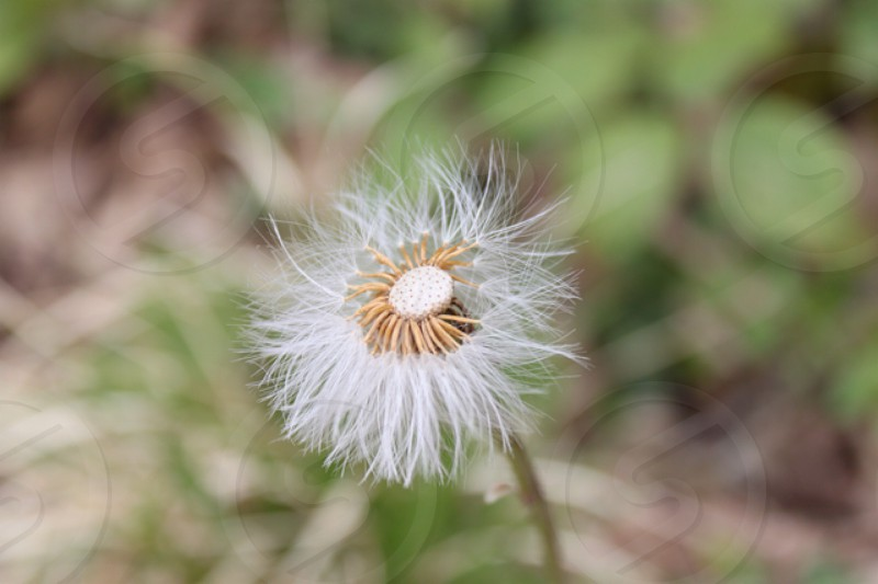 white dandelion flower photo