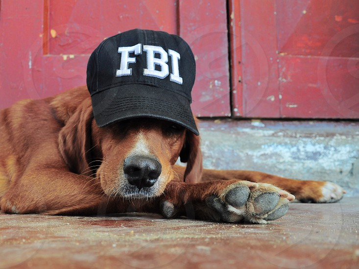 brown long haired medium sized dog wearing black fbi fitted cap photo