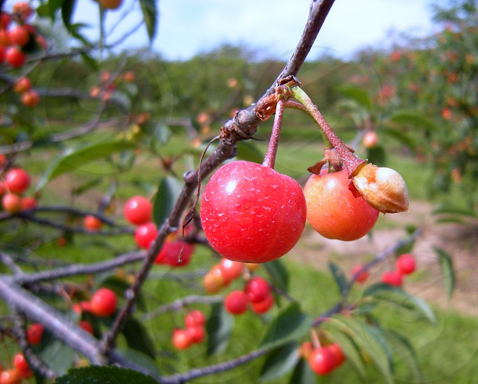 Cherries on a cherry tree in an orchard photo