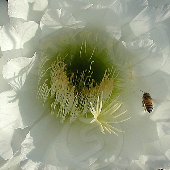 Bee in a Flower photo