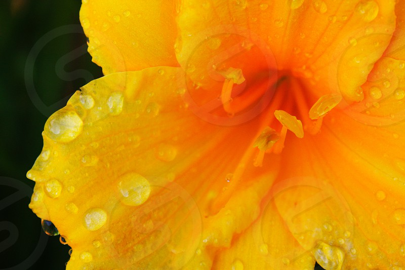 Fragile dew drops on flower photo