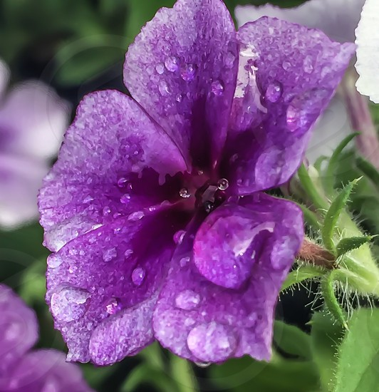 close up photography of purple flower with water drops during daytime photo