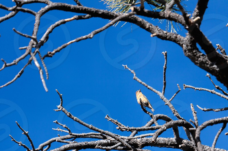 Red Crossbill (Loxia curvirostra) at Bryce Canyon National Park photo