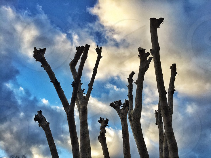 Knobby tree in front of a blue and cloudy sky photo