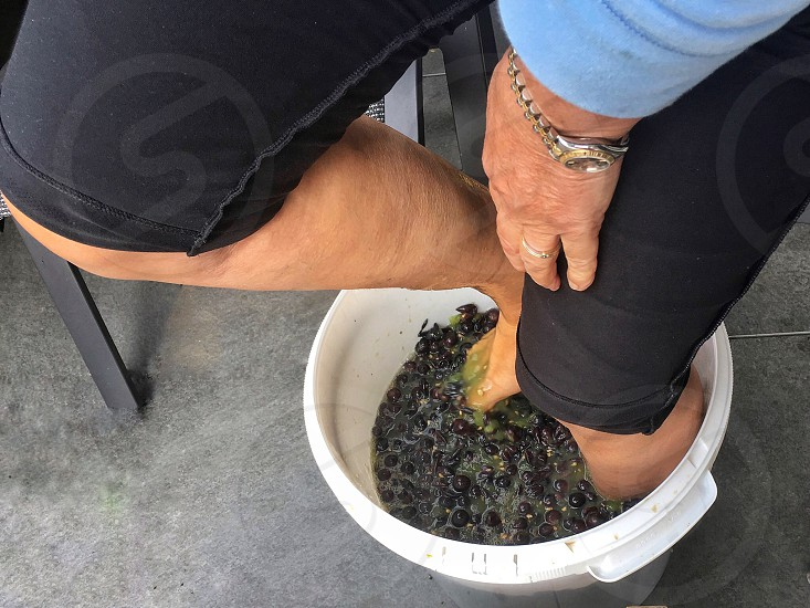 stampingcrushing grapes legs production feet red red grapes crushed homemade wine process  photo