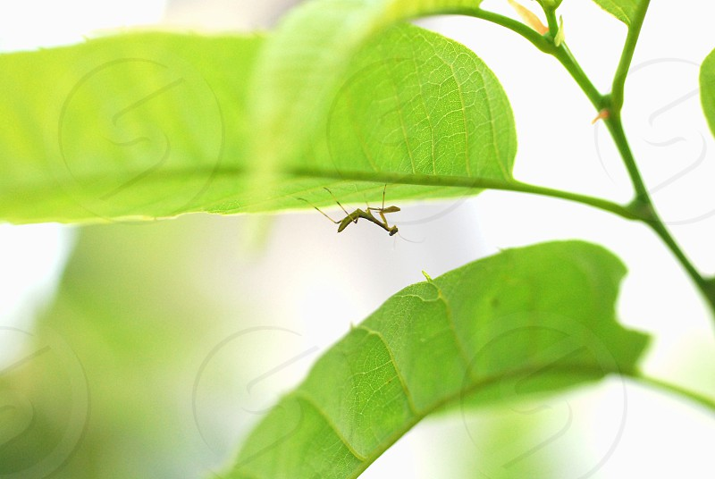 A baby mantis hiding beneath a green leaf in Japan photo