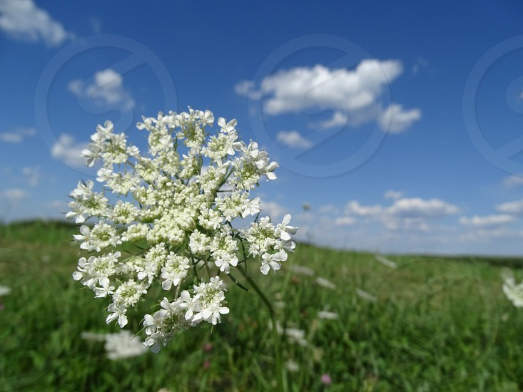 selective focus photography of queen anne's lace flower on green grass open field under white clouds blue skies daytime photo
