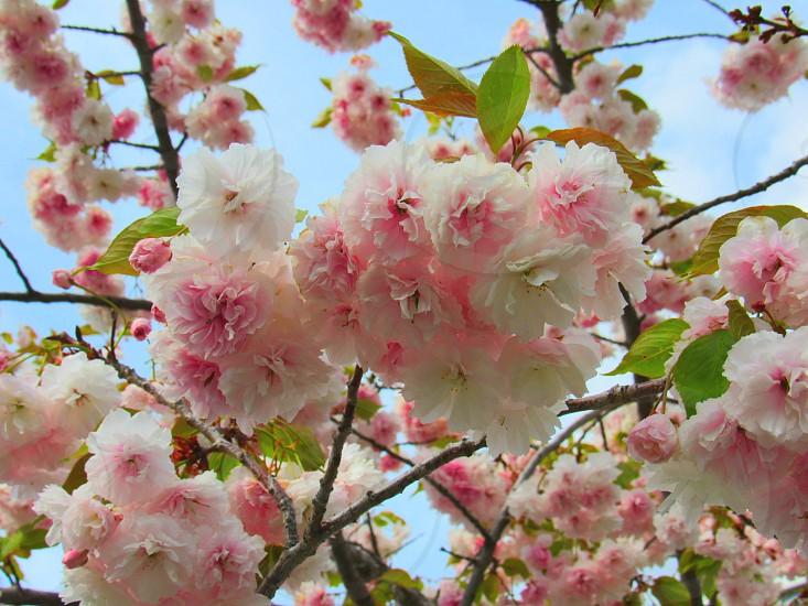 Blossoms photo