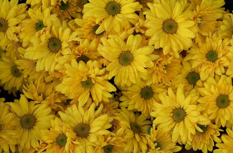 Background of yellow chrysanthemum flowers in bloom photo