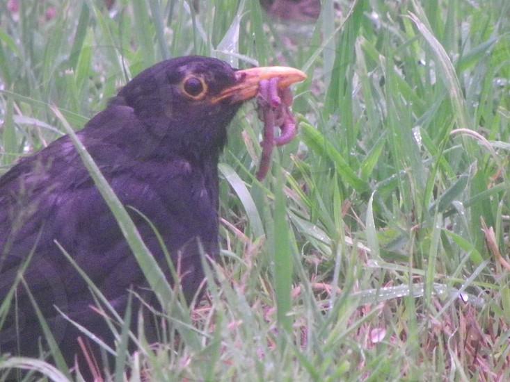 MACRO Somerset Blackbird and worms for tea photo