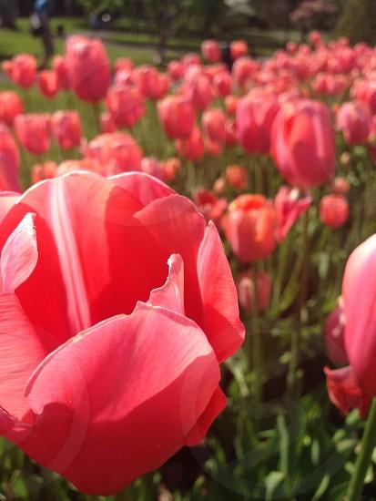 Pink and orange tulip flower garden photo