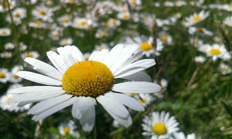 shallow focus photography of daisy flower during daytime photo