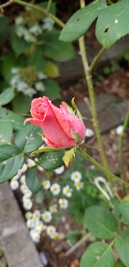 rose coral flower garden coral leaves summer color beauty photo