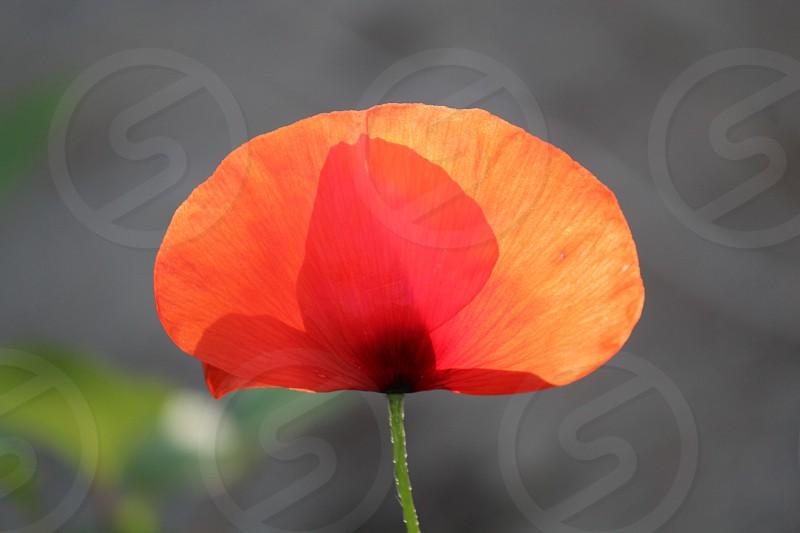 orange poppy slower photo