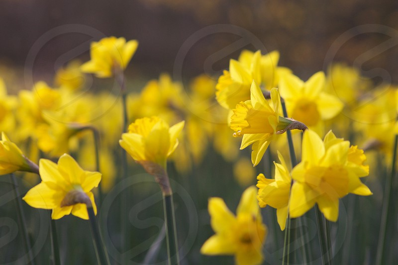 Daffodils yellow Spring colour  photo