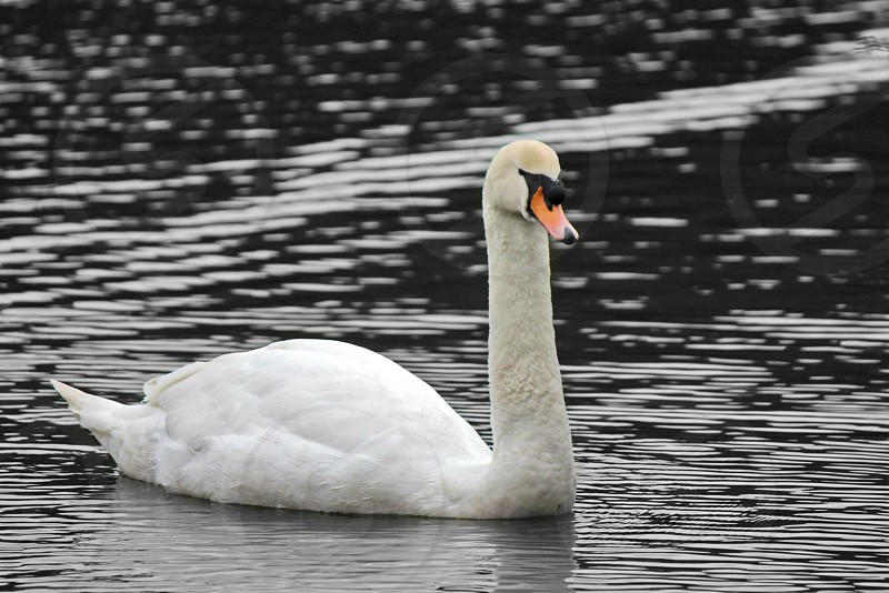 An edited photo of a swan. photo