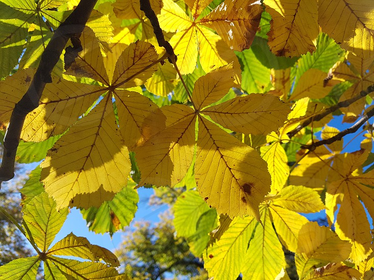 Autumn colorful chestnut leaves in the sun. photo