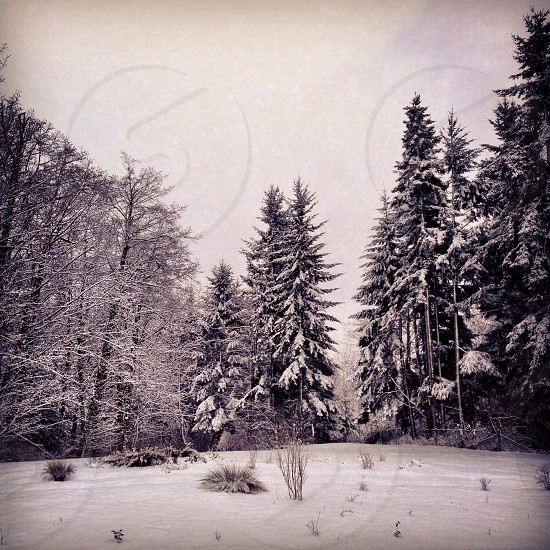 green trees filled with snow photo photo