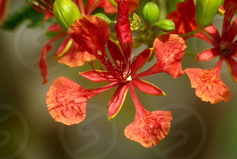 Flamboyant's flowers photo