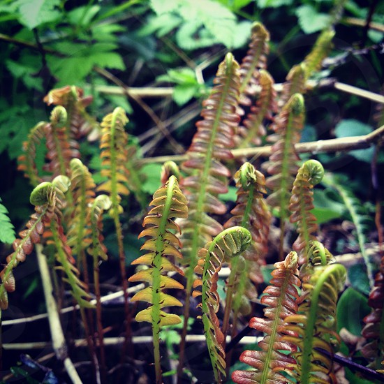 Green ferns new growth Patagonia Chile photo