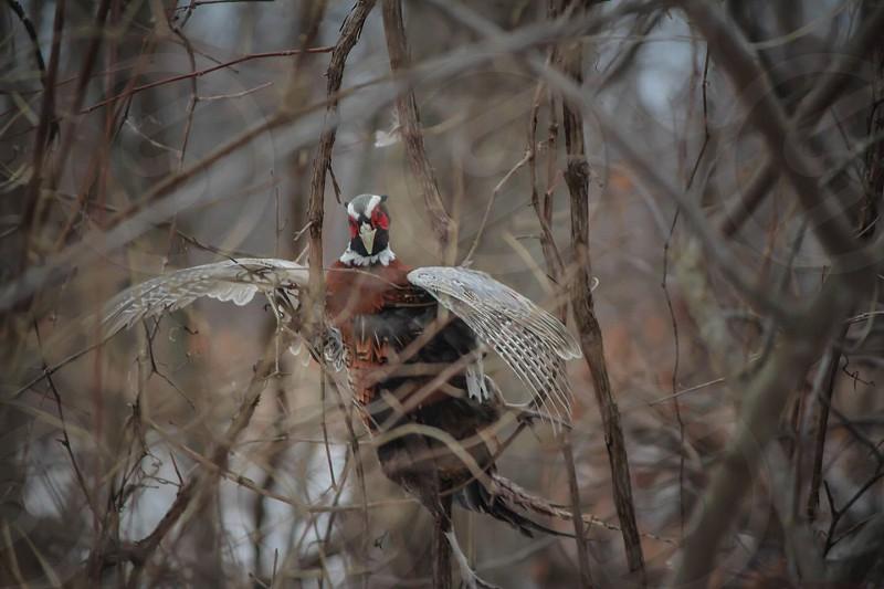 #pheasant #Michigan   photo