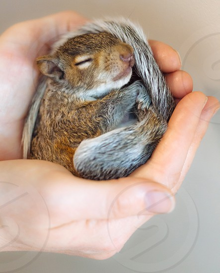 baby squirrel in hands photo