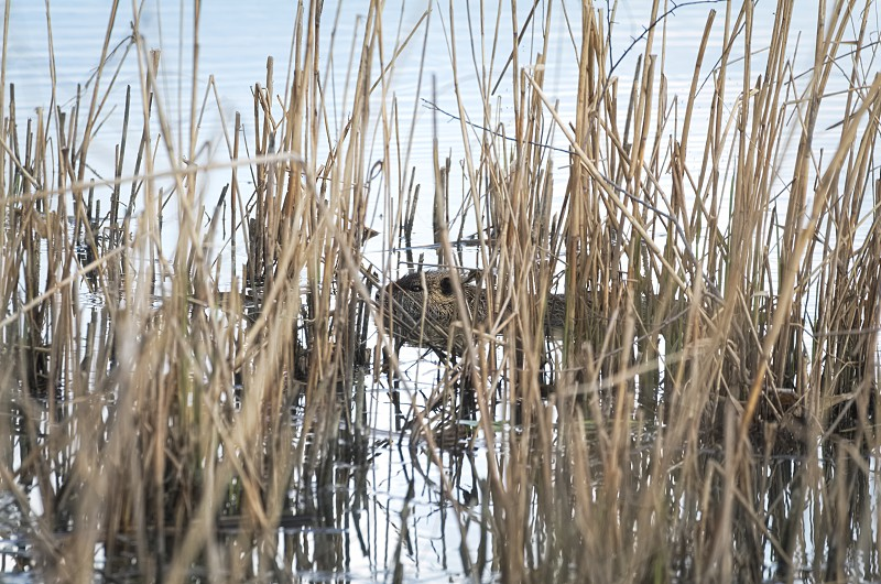 Coypu Animal Swimming in the Water between Dry Reeds photo