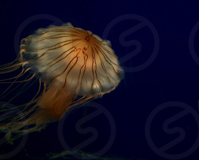 Orange Jellyfish photo