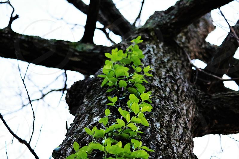 Green Vine climbing up a Tree photo