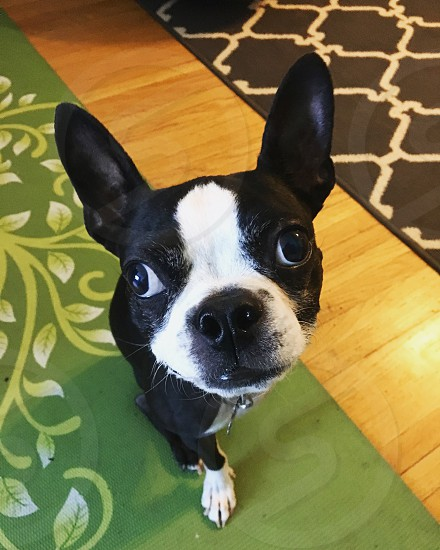 Dog dogs Boston terrier Boston terriers tripawd tripawds green photo