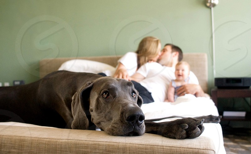 blue short coat dog lying on bed with couple kissing on bed and baby laughing photo