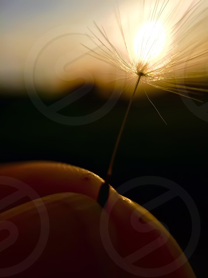 micro photography of dandelion photo