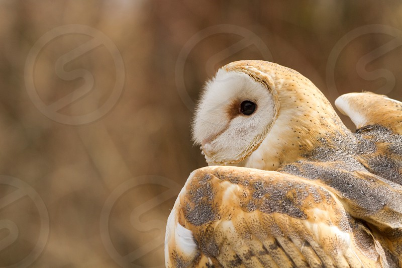 A barn owl about to take flight photo
