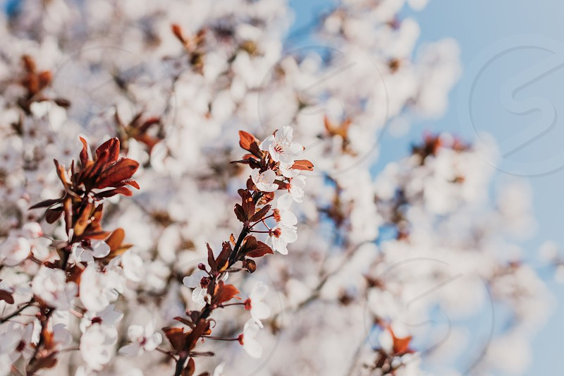 Blooming cherry tree in springtime photo