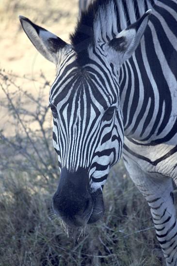 zebra close up photography photo