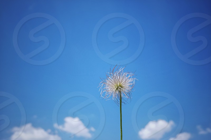 Fuzzy flower against blue sky and clouds. Environment concept. photo