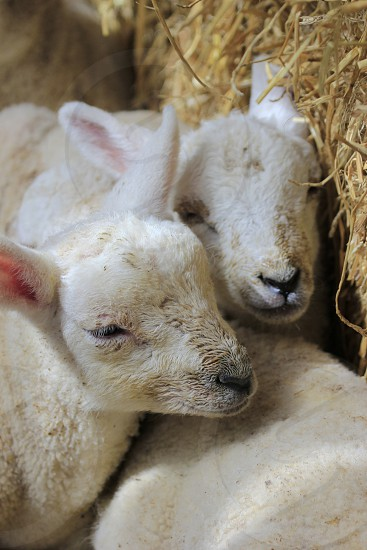 Sleeping Lambs photo