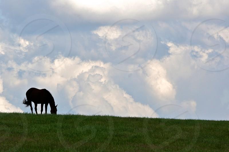 black horse eating grass photo