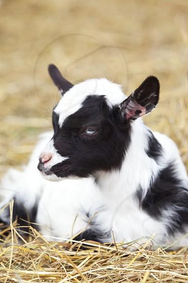 pattern - goat animal photo