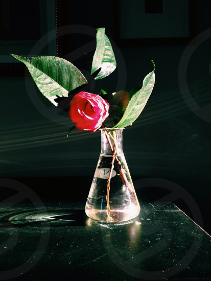 pink rose in a glass flask photo